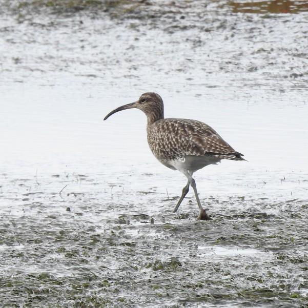 Eye stripe suggests this is a Whimbrel
