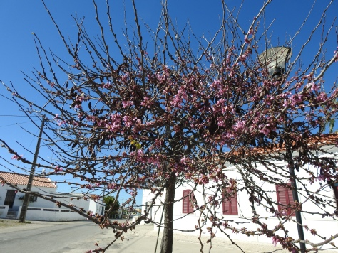 Forgot to photograph the beer, so here's the Judas Tree which was opposite!