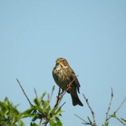 Corn Bunting - as is the header photo