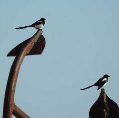 Magpies in Cemitério das Âncoras