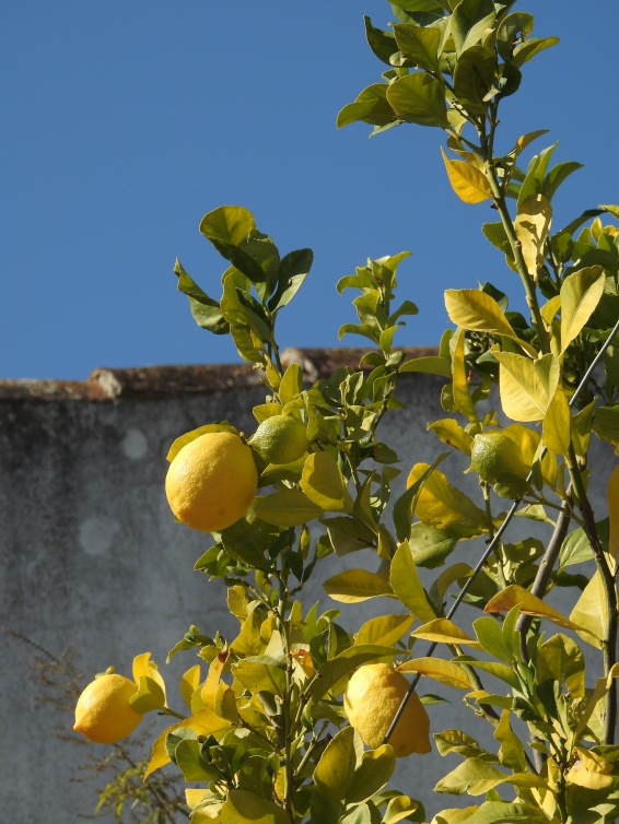 Lemons surrounded by Algarvian blue