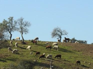 Long legged sheep
