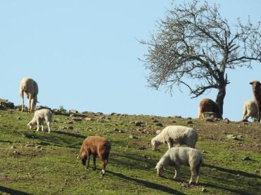 Even the lamb looked big