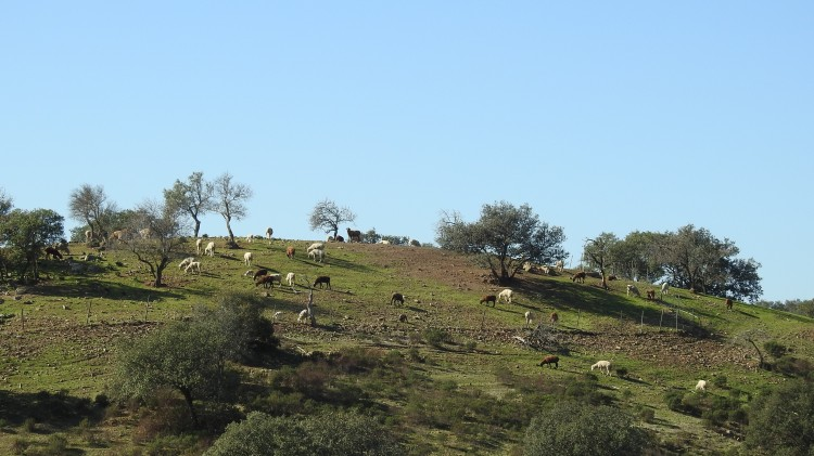 Sheep high on the hill top