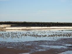 Roosting in the salterns