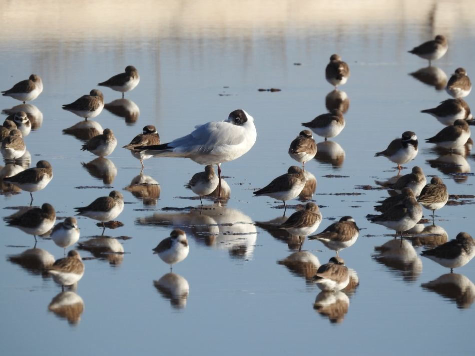 Black Headed Gull amongst wading friends