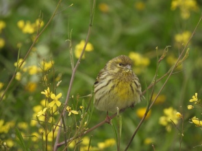 Serin in the grasses