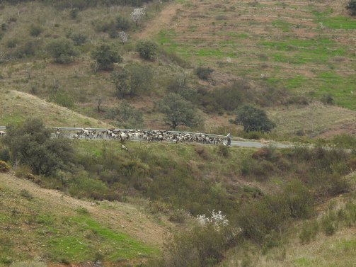 Goats taking a shortcut!