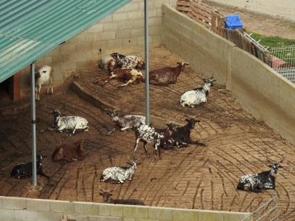 Lazy goats!