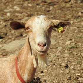 Sunbathing Goat