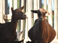 Very pregnant goats!