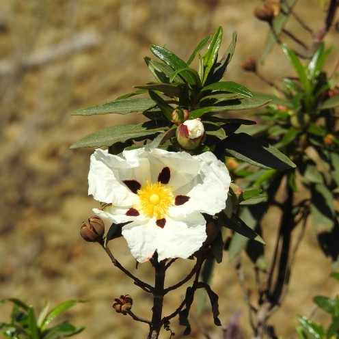 Cistus just coming into flower