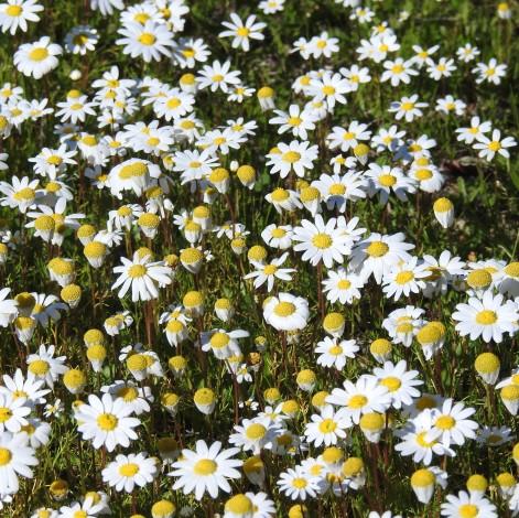 Happy daisy