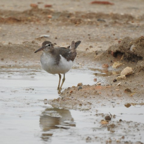 Happy Sandpiper in a puddle