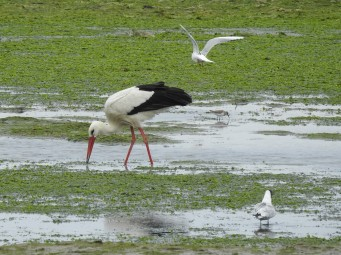 European White Stork & friends