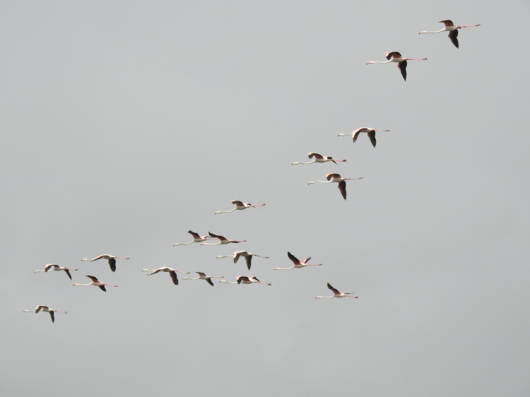 Spanish flamingos in the Algarve