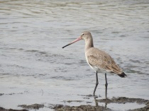 Black Tailed Godwit in winter plumage