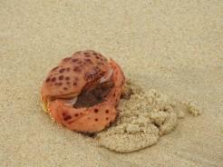 Burrowing crab