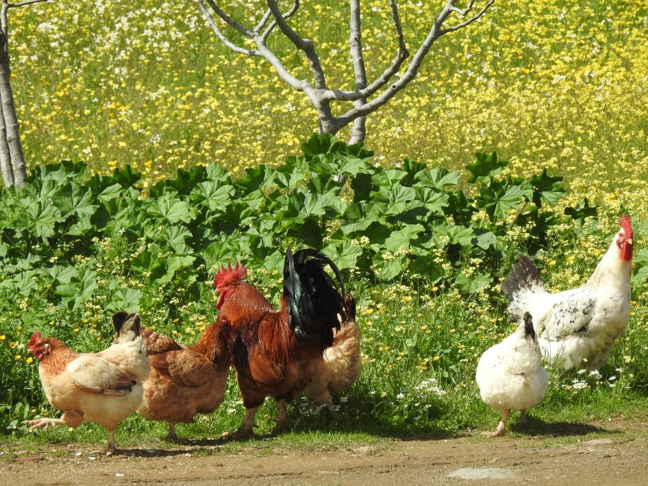 Chickens in the meadows