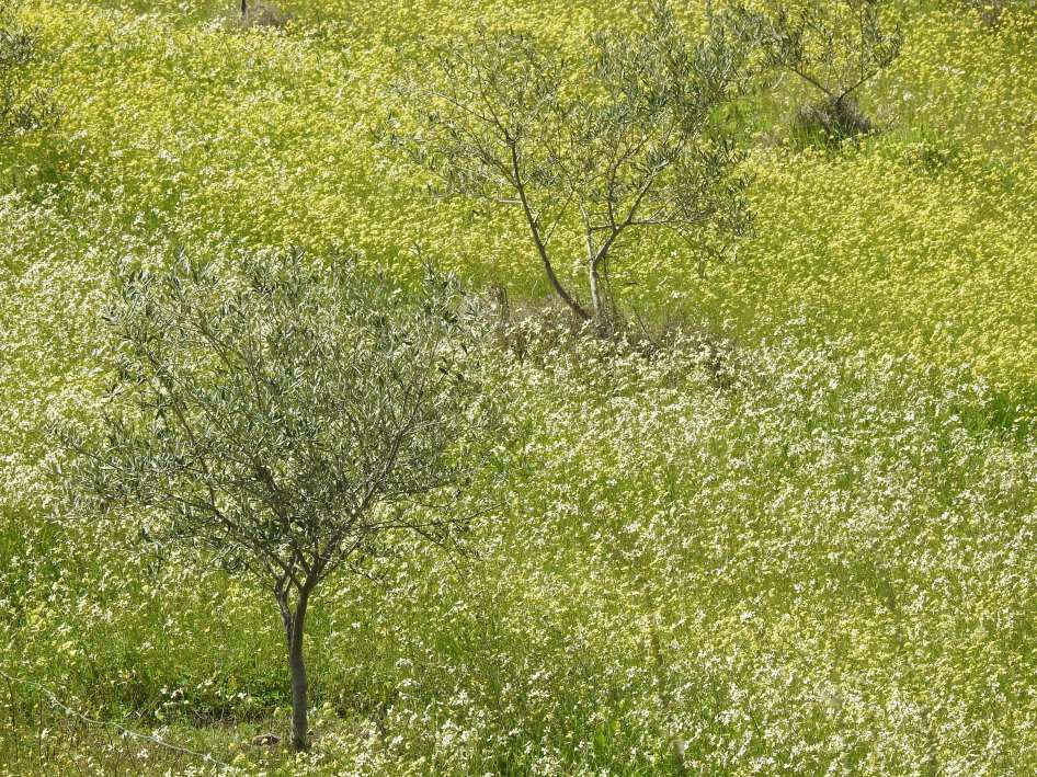 Olive trees surrounded by brassica