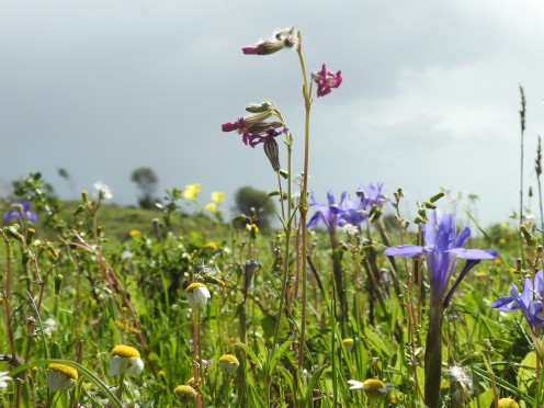 Silene in the centre, but which?!