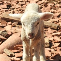 There were lambs too