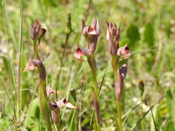 Tongue Orchids