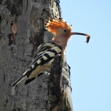 Poupa in a tree