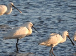 Spoonbills at sundown