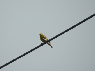 European Serin - I think!