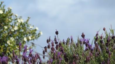 lavender with cistus