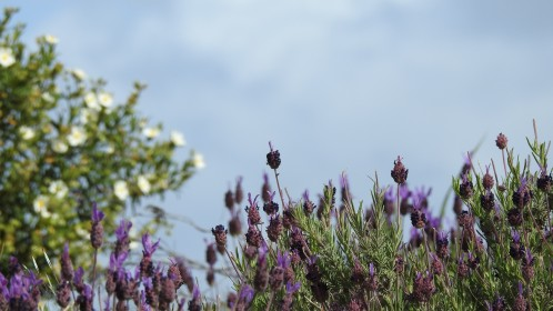 lavender with cistus
