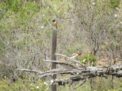 Blurred I know, but look at them male Stonechat and Woodchat Shrike