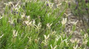 Longer stalks so perhaps a white pedunculata
