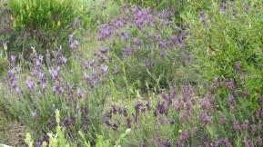 Multiple lavender