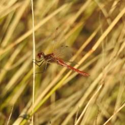Male red veined darter