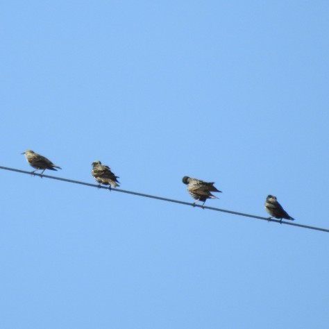 Starlings in a line