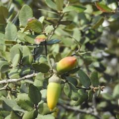 Even evergreen oaks have colour
