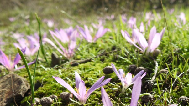 Crocus in close up