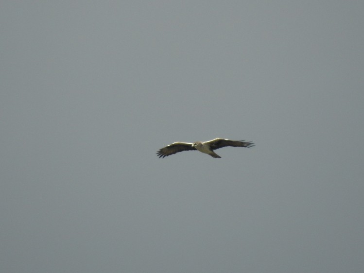 Hen Harrier, we think.