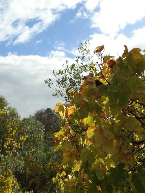 Vine leaves in the sunshine
