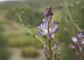 Prospero autumnalis (Autumn Squill)