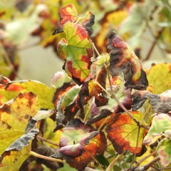 Vine leaves in close up