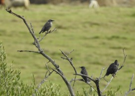 Starlings on a tree