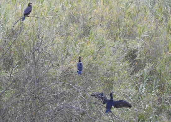 Cormorants in a tree