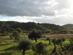 Olive trees in late afternoon sunshine