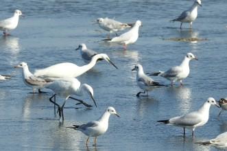 Egret or Gull?