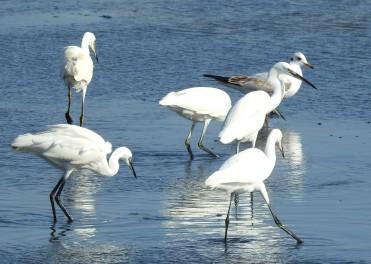 A Congregation of Egrets
