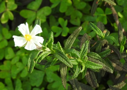 Narrow leaved cistus