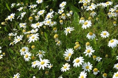 December daisies